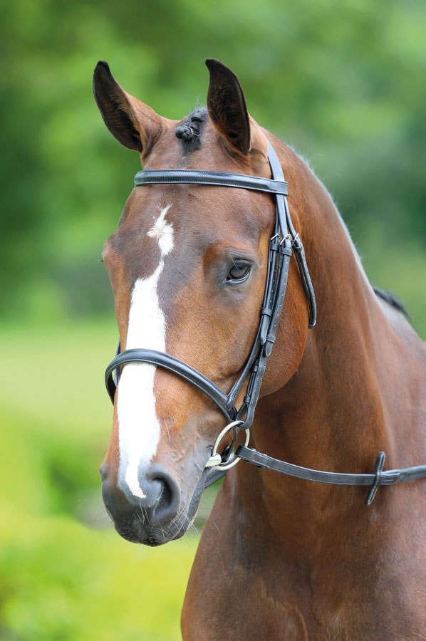 Raised cavesson bridle