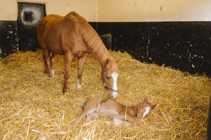 Mare with newborn foal on straw bedding