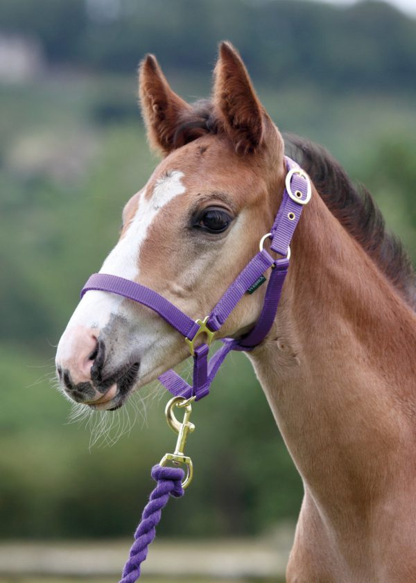 Shires Wessex Headcollar And Lead Rope Set - Variation of Shires Wessex Headcollar And Lead Rope Set 8211 RRP 1050 8211 SAVE 10 222042758471 b477